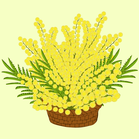 gift basket: Mimosa flowers in the basket. illustration of flowers as a gift. Womens day March 8 spring
