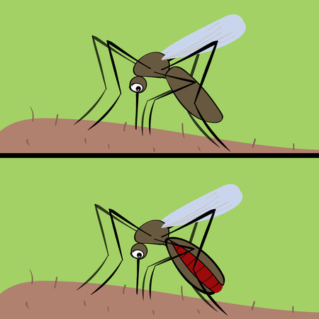 culicidae: The mosquito drinks blood . The insect vector of malaria and fever zika. Nature animals arthropods. Epidemic epidemiology medicine man disease Illustration