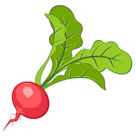 Radish Иллюстрация