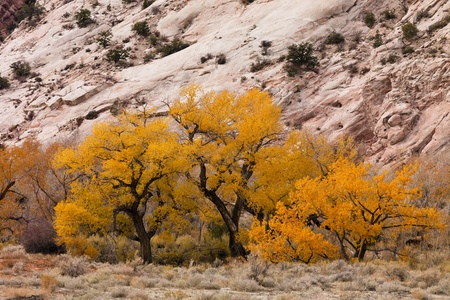 Golden color of cottonwood against rock formations. Stock Photo - 8278121