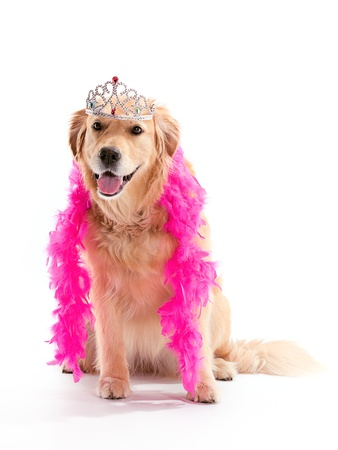 A funny Golden Retriever wearing a tiara and a pink boa while sitting on a white background.