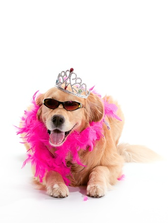A Golden Retriever laying with sunglasses and a boa on