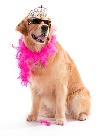companions: A Golden Retriever posing with sunglasses and a boa Stock Photo