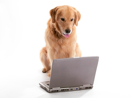 A Golden Retriever using a laptop 版權商用圖片