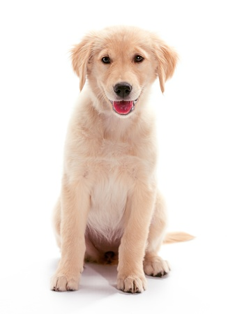 A puppy Golden Retriever sitting