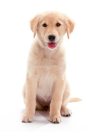 Een pup Golden Retriever zitten Stockfoto