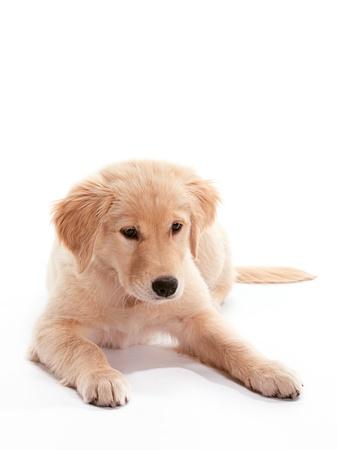 강아지 골든 리트리버 바닥에 누워
