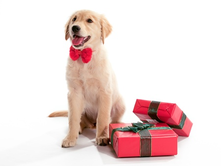 pups: A puppy Golden Retriever with a bow tie and presents