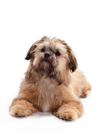 Un Shitzu Poodle mezcla por la que se en el piso Foto de archivo - 9880986