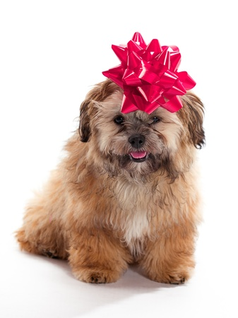 poodle mix: A Shitzu Poodle mix with a ribbon on as a gift