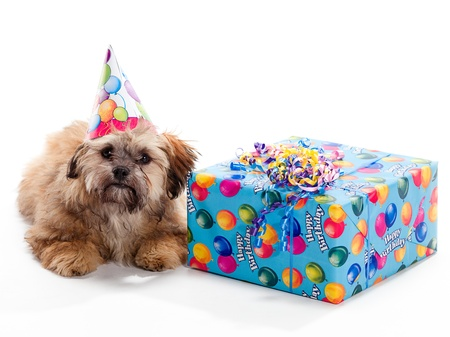 A Shitzu Poodle mix laying beside a birthday present wearing a hat photo