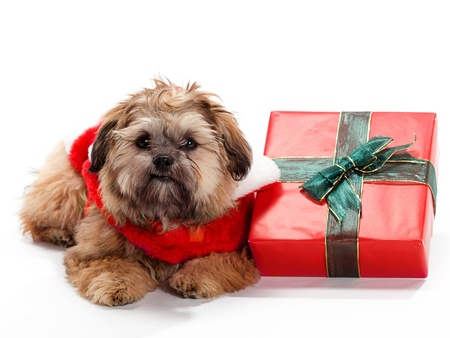 A Shitzu Poodle mix laying beside a gift with a santa suit photo