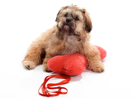 A Shitzu Poodle mix laying on a pillow with leash photo