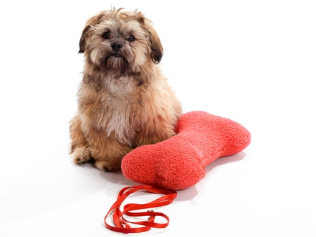 A Shitzu Poodle mix sitting with pillow and leash photo