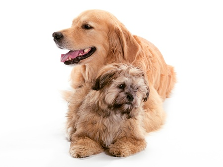 A Golden Retriever and a Shi Poo looking in different directions photo