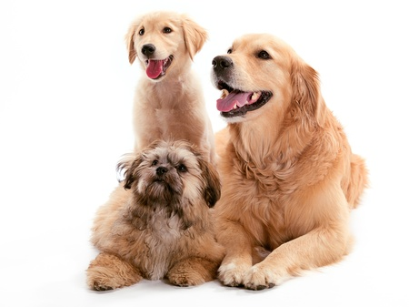 A Shi Poo and two Golden Retriever sitting together photo