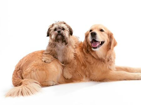A Shitzu Poodle mix sitting on a Golden Retriever photo