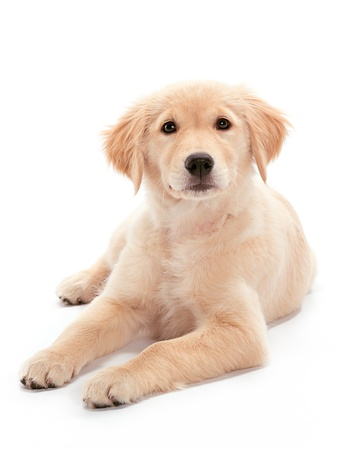 companions: A Golden Retriever puppy relaxing on floor Puppy looking at the camera Stock Photo