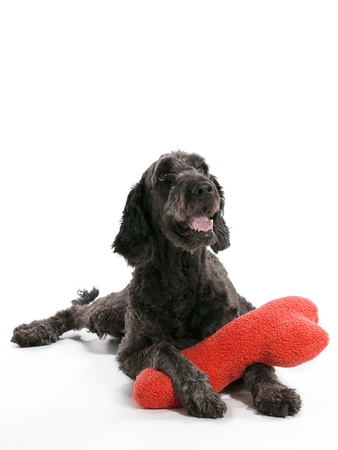 A Labradoodle laying on a white background with a pillow photo