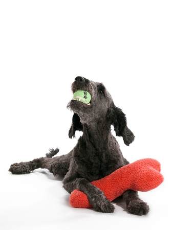 A Labradoodle laying with toys