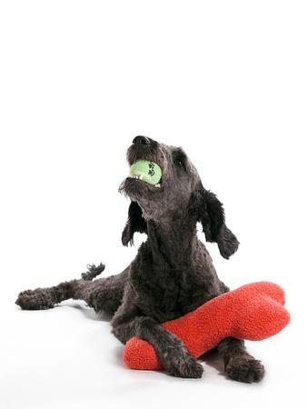Un Labradoodle tendido con juguetes Foto de archivo - 9881029