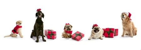 holidays: Dogs in Santa hats with Christmas presents sitting on a white background