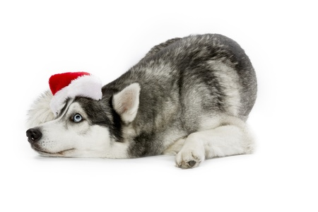 Domesticated Siberian Husky wearing a santa hat photo
