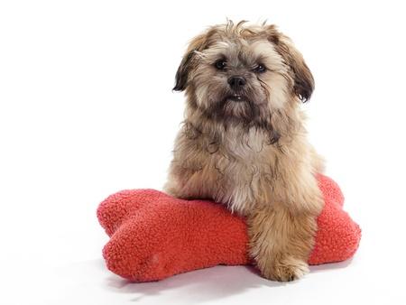 poodle mix: A Shitzu Poodle mix Guarding a pillow Stock Photo