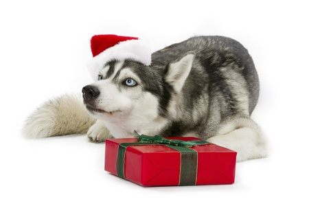 Present wrapped in ribbon in front of an adorable pet  photo