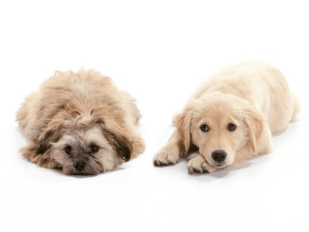 poodle mix: A Golden Retriever puppy relaxing on floor Puppy looking at the camera and Shizu Poodle mix looking sad