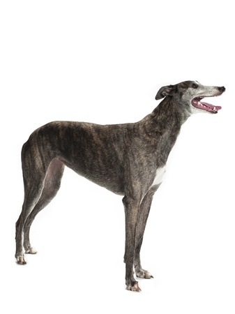 lurcher: A greyhound standing sideways on a white background