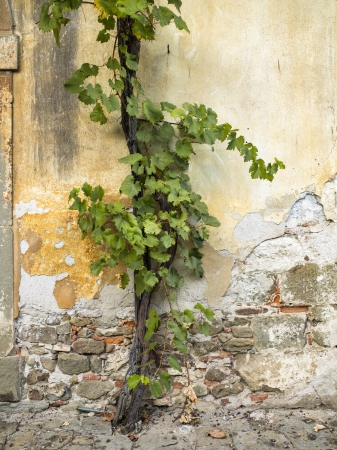 creeping plant: Cropped image of an old concrete wall with creeping plant