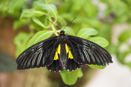 nymphalidae: Close-up image of a black cattleheart butterfly perching on leaves