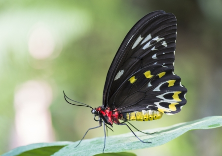 insecta: Close up image of cattle heart butterfly on leaf Stock Photo