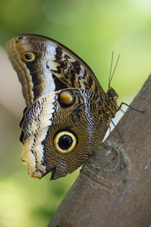 Owl butterfly perched on plants closeup