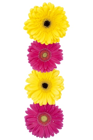 pink daisy: Close-up shot of four yellow and pink daisy flowers arranged in a row on white surface