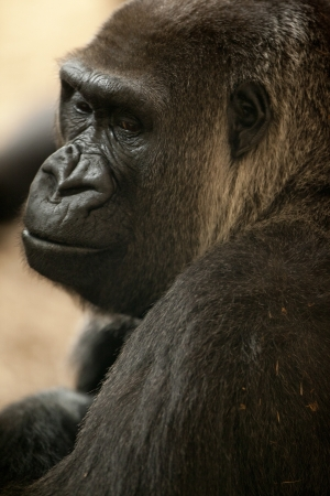 Portrait photo of a smiling Gorilla  Stock Photo - 16210483