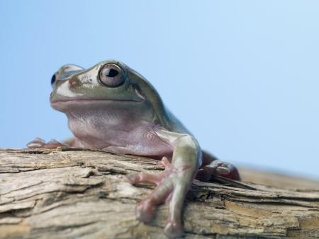 arboreal frog: Cierre de la imagen de la rana verde