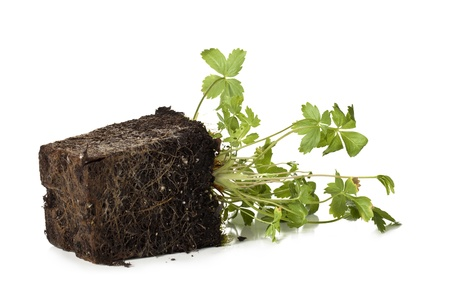Image of green plants grow in block of soil against white background Stock Photo - 16225868