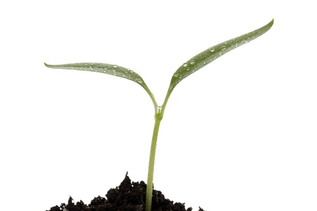 Close-up image of growing green small plant on soil against the white surface Stock Photo - 16225701