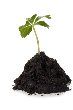 Close up image of growing green plant in mound of soil against white background Stock Photo - 16225753