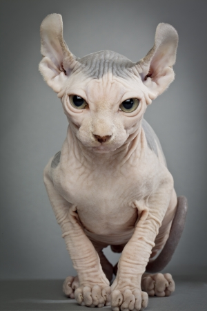 hairless: A hairless cat with wrinkles on a grey background                                                          Elf Cat and Sphynx Breeders   HOUSE OF Q  www elfcatsincanada com Stock Photo