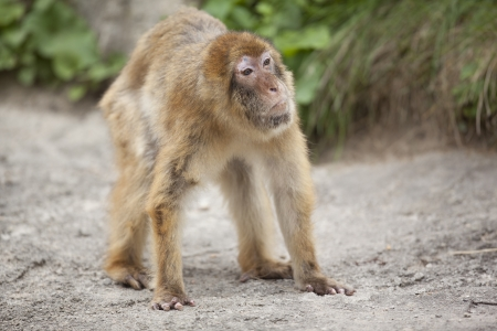 Monkey looks amazed at what he is seeing. Stock Photo - 16976427