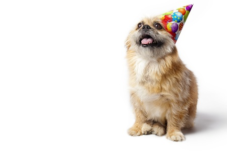 party hats: Pekenese Terrier waiting for goodies on his birthday. Stock Photo