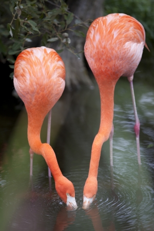 Bright coloured feathers covers a flamingoes body. Stock Photo - 16975573