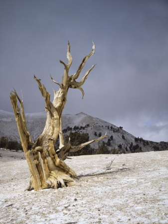 bristlecone: Ancient trees of Bristlecone in the White Mountains of California