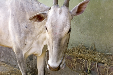india cow: A close up of a cow in Odanadi, INdia Stock Photo