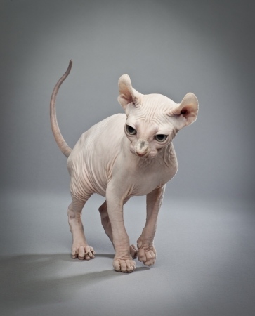 An elf cat is the result of a cross between the sphinx cat and several other breeds 版權商用圖片
