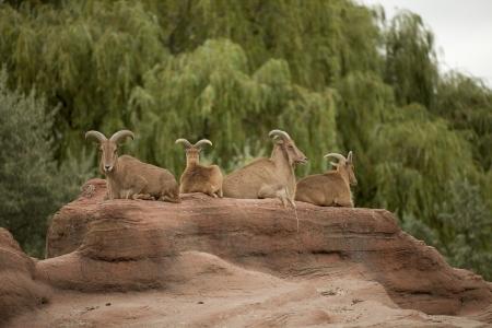 wild goat: Manada de Tur o cabra salvaje que descansa sobre una superficie elevada rocosa mirando hacia fuera para el peligro.