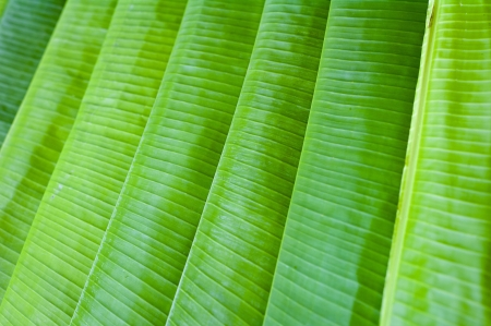 Lined up tropical banana plant leaves in Mysore, India  photo